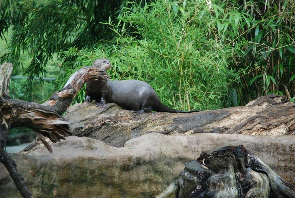 Zoo Duisburg AG - Brasilianischer Riesenotter