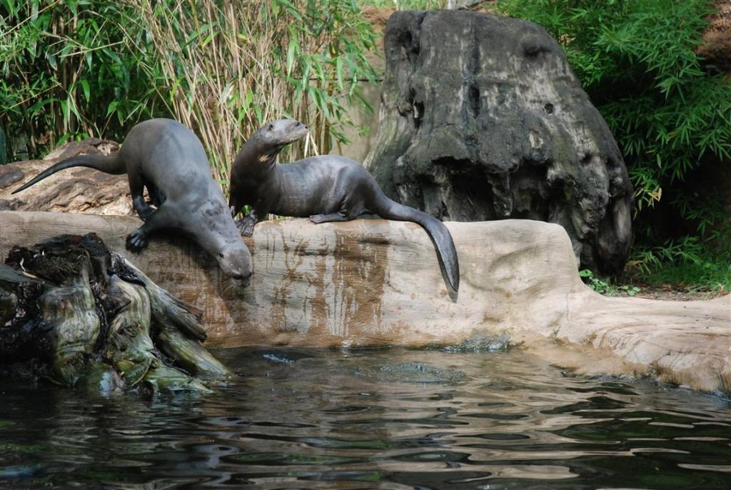 Zoo Duisburg AG - Brasilianischer Riesenotte